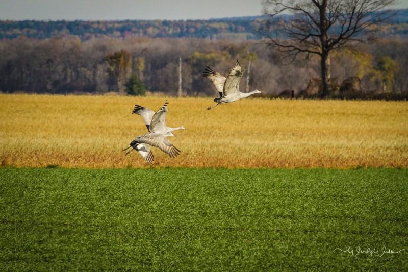 sandhill-flock-106