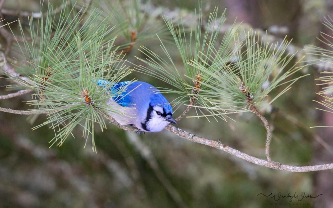Blue Jay – I spy a peanut…
