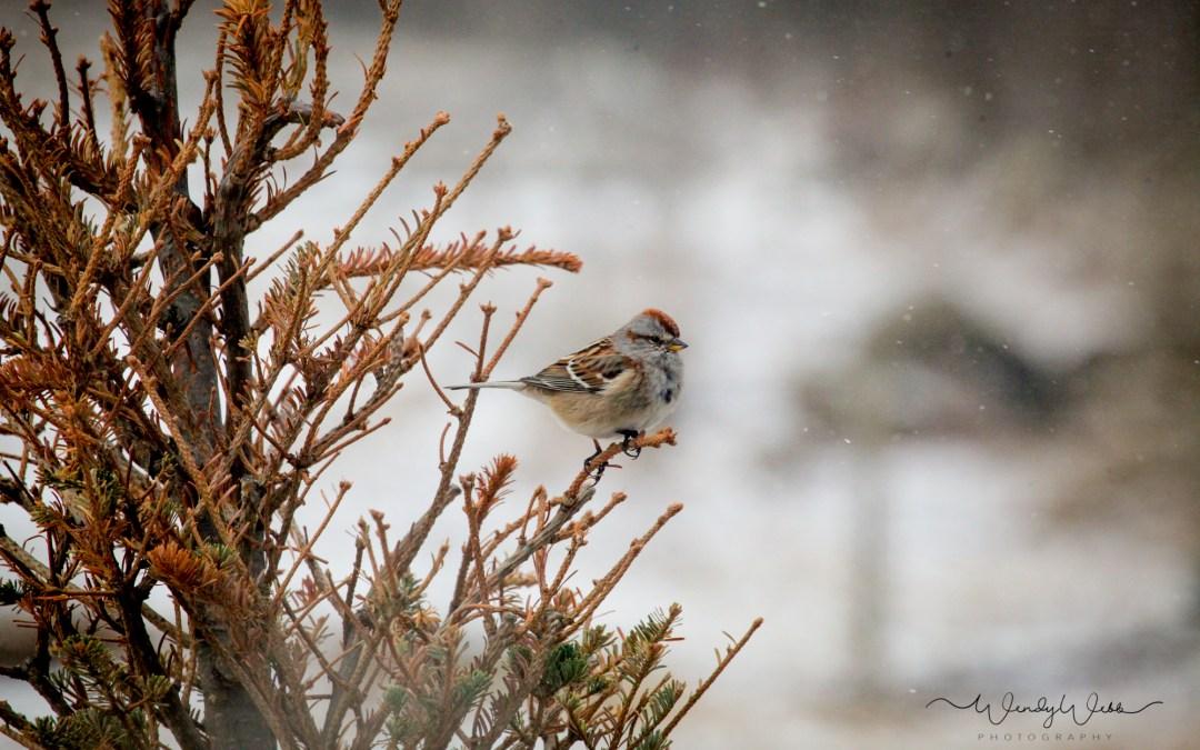 Tree Sparrow flocks are arriving
