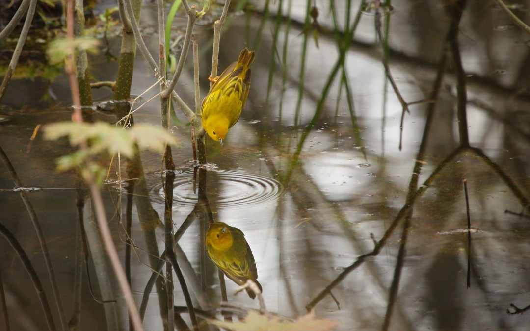 Yellow Warbler – looking for insects