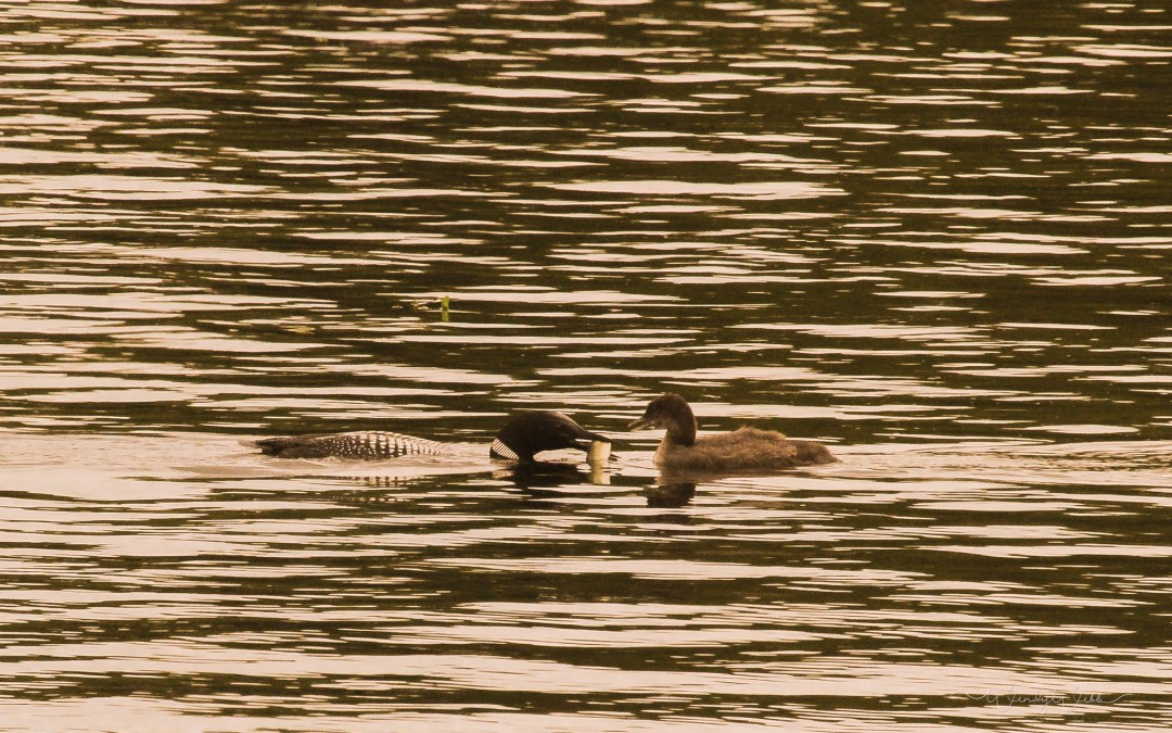 Loon feeding the youngsters