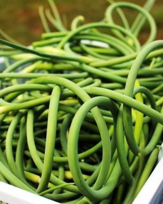 Fleur d'Ail du Québec Garlic Scapes - Récolte Harvest