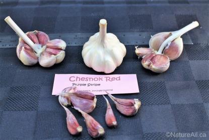 Ail Garlic – Chesnok Red – Layout 2