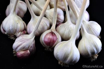 Ail Garlic - Aglio Rosso - Bulbes