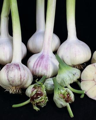 Ail Garlic - Chesnok Red - Bulbes Bulbilles Coupe - natureail.ca