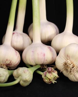 Ail Garlic - German Red - Bulbes Bulbilles - natureail.ca