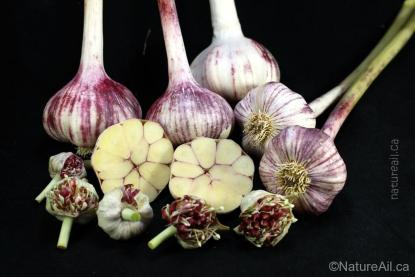 Ail Garlic - Plum Crazy - Bulbes Bulbilles Coupe - natureail.ca