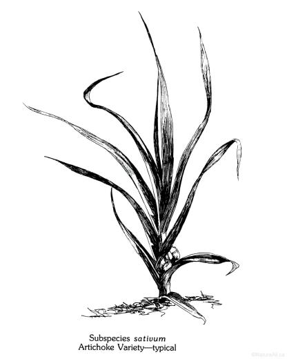 Illustration d'un Plant d'Ail du Groupe Artichoke (par Jim Anderson)