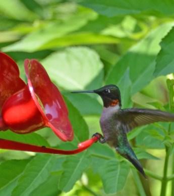 male ruby-throated