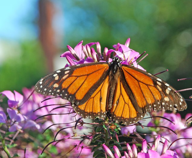 Monarch on Cleome