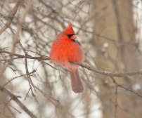 Cardinal-in-Thicket-2