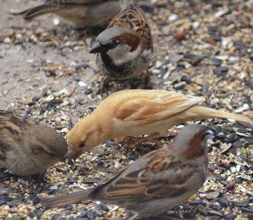 Golden-Sparrow-House-sparrows
