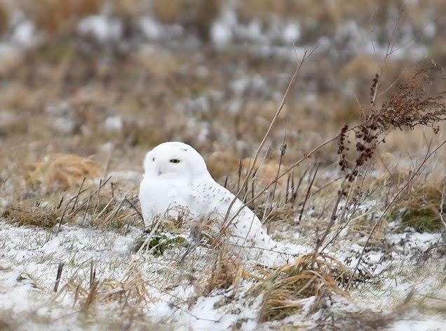 Snowy-in-Field-3