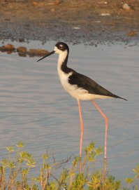 1-Hawaiian-Stilt