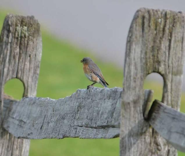 Singing-Bluebird