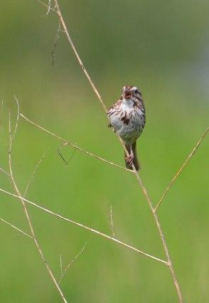 Singing-Sparrow