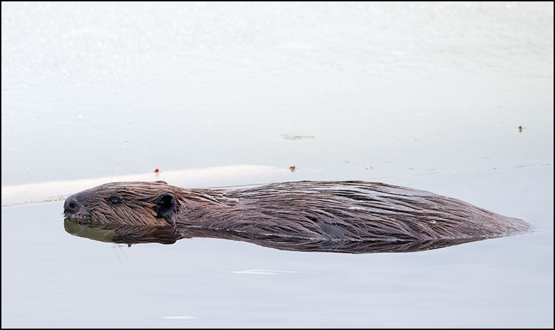 Beaver, Photography and the Story