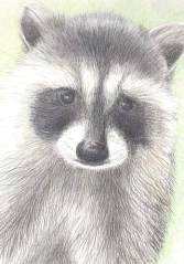 racoon-copyright-alice-wych