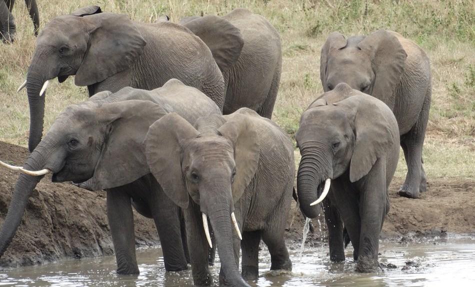 elephaa