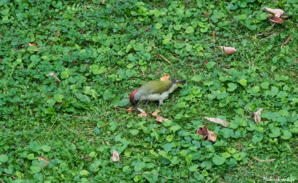 Pic vert (Picus viridis)