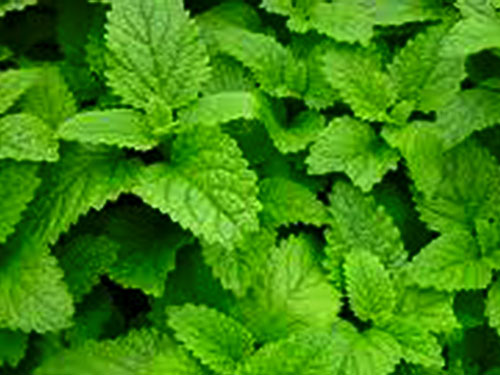 lemon-balm-mos2