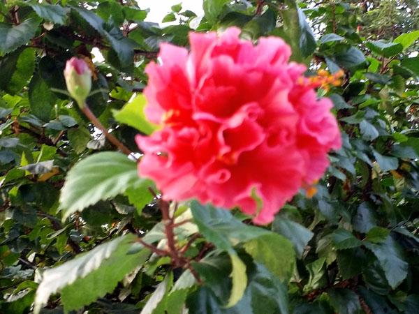 tropical_hibiscus-2