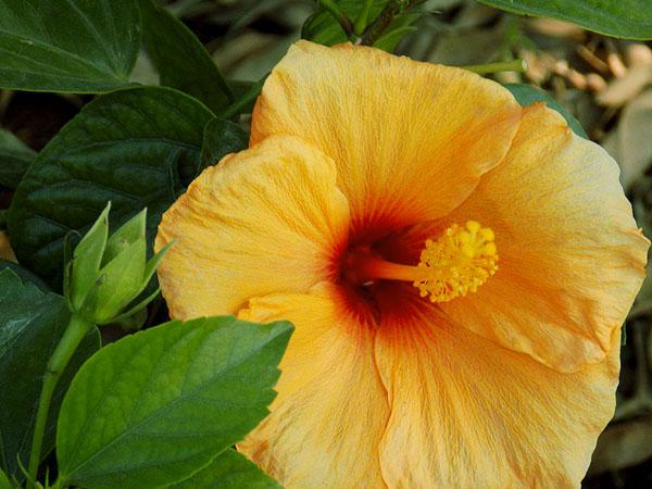 tropical_hibiscus3