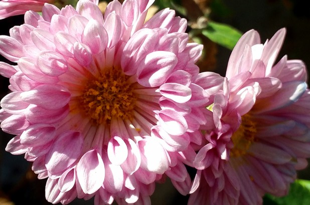 chrysanthemum-pink2