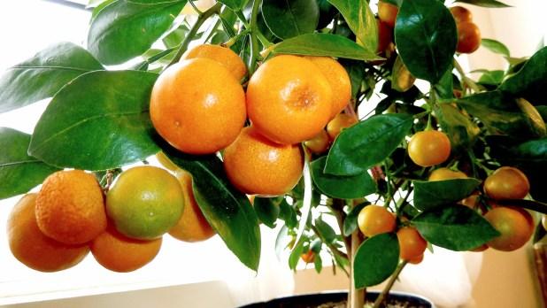 orange-tree-4