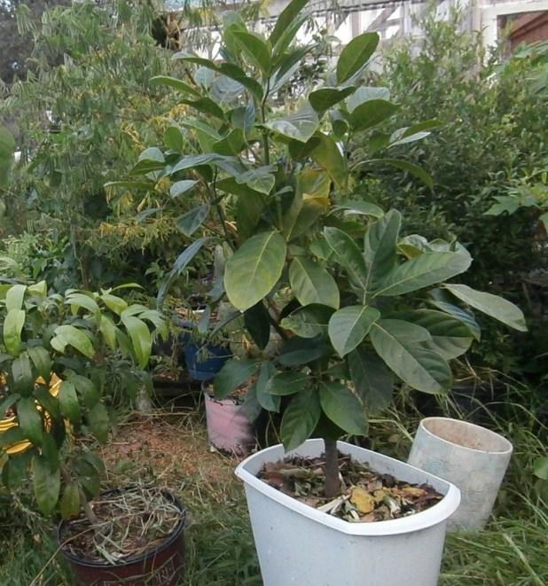 jackfruits pot