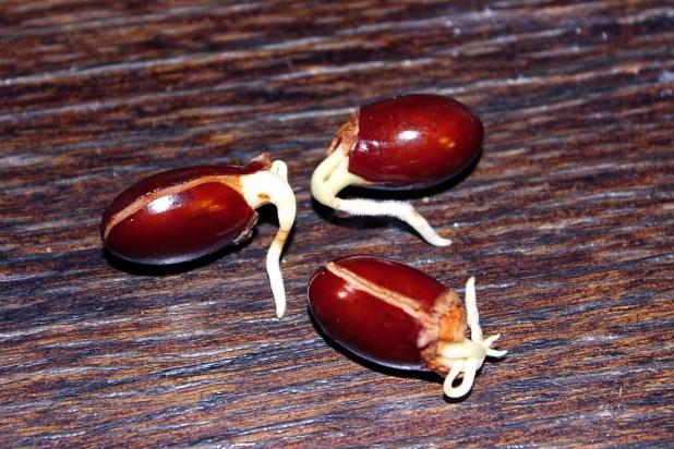 litchi tree seed