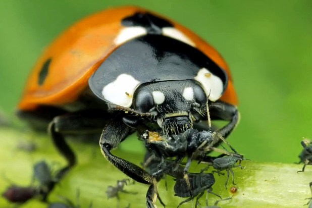 Useful insects for garden Ladybugs