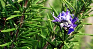 Rosemary herb | Growing and care easy tips