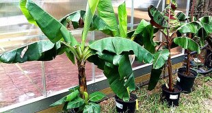 How to grow banana trees in containers | Banana dwarf species in containers