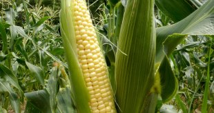 How to grow Sweet Corn in the container | sweet corn growing in the container