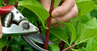 How to Propagate plants from Softwood Cutting | Nature Bring