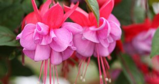 How to grow attractive Fuchsia | Nature Bring
