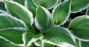 Hosta houseplants | Basic tips of Growing hosta