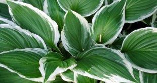 Hosta houseplants | Basic tips of Growing hosta