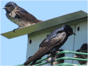 Purple Martins, one of the species threatened by these projects. Photo Ted Cheskey