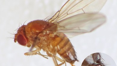 Spotted-wing_Drosophila_(Drosophila_suzukii)_female_(15195497409)