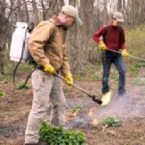 Burning Off Garlic Mustard Seedlings