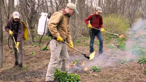 Burning Off Garlic Mustard Seedlings