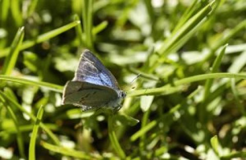 The Early Hairstreak Butterfly