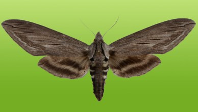 great ash sphinx mounted_green_background