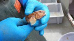 Round Goby (neogobius melanostomus)