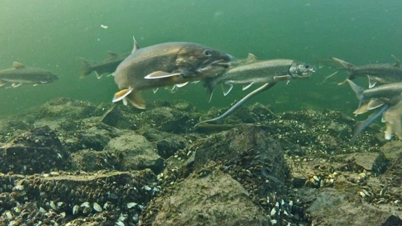 spawning_trout_lamprey_cropped