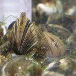 Quagga_Mussels_Bootsma