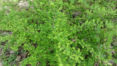 Barberry_Pic