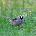White_Throat_Sparrow